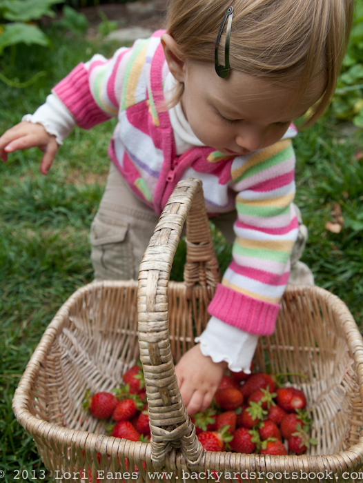 Two-year-old girl harvests strawberries