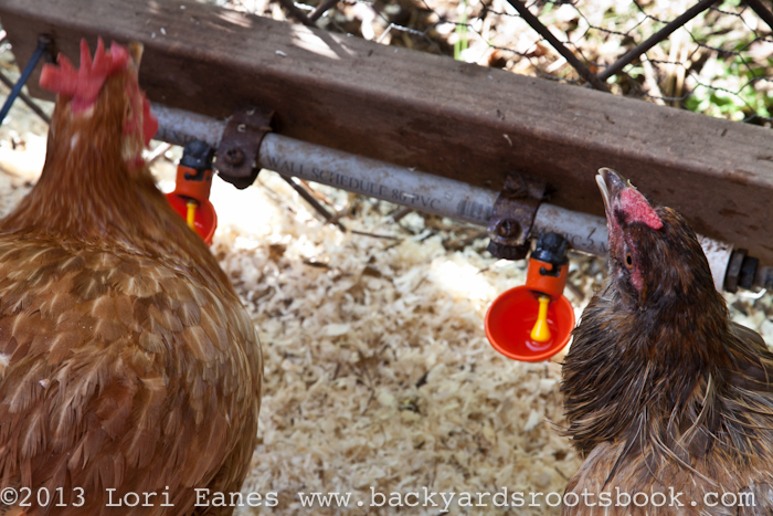 Jeffrey gives water to his chickens with these chicken waterer cups that gives clean fresh water without wasting it.