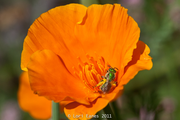 Here's a reason to plant natives: You'll attract crazy bugs like this native Green Sweat Bee on a California poppy.