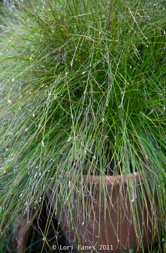Scirpus is another native that likes to have wet roots. You can put it right in the pond.