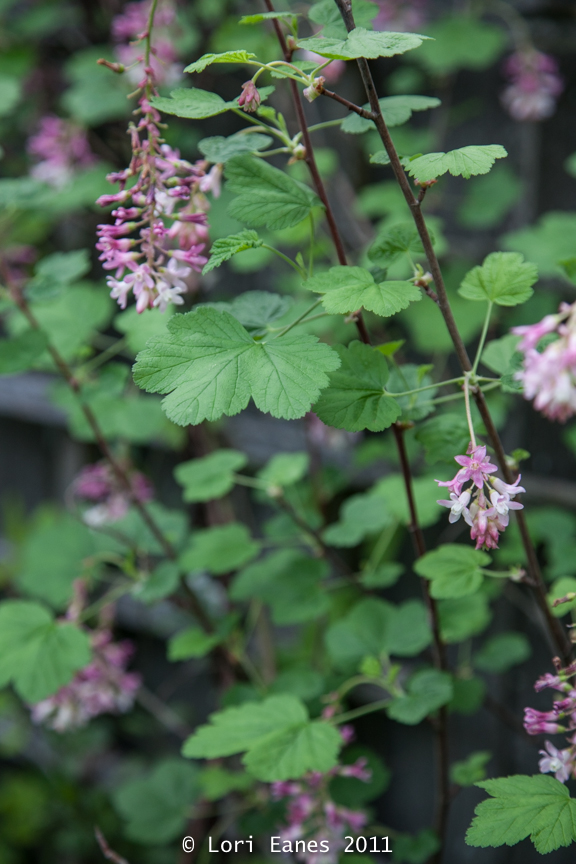 Currants (ribes) are spiky border plants that do well with or without water.