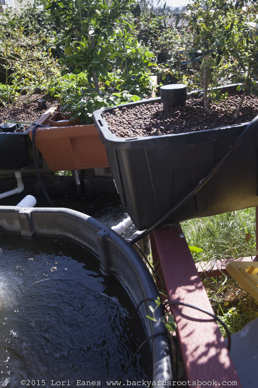 The aquaponics system has an extra pool that serves as a ph buffer for the fish.