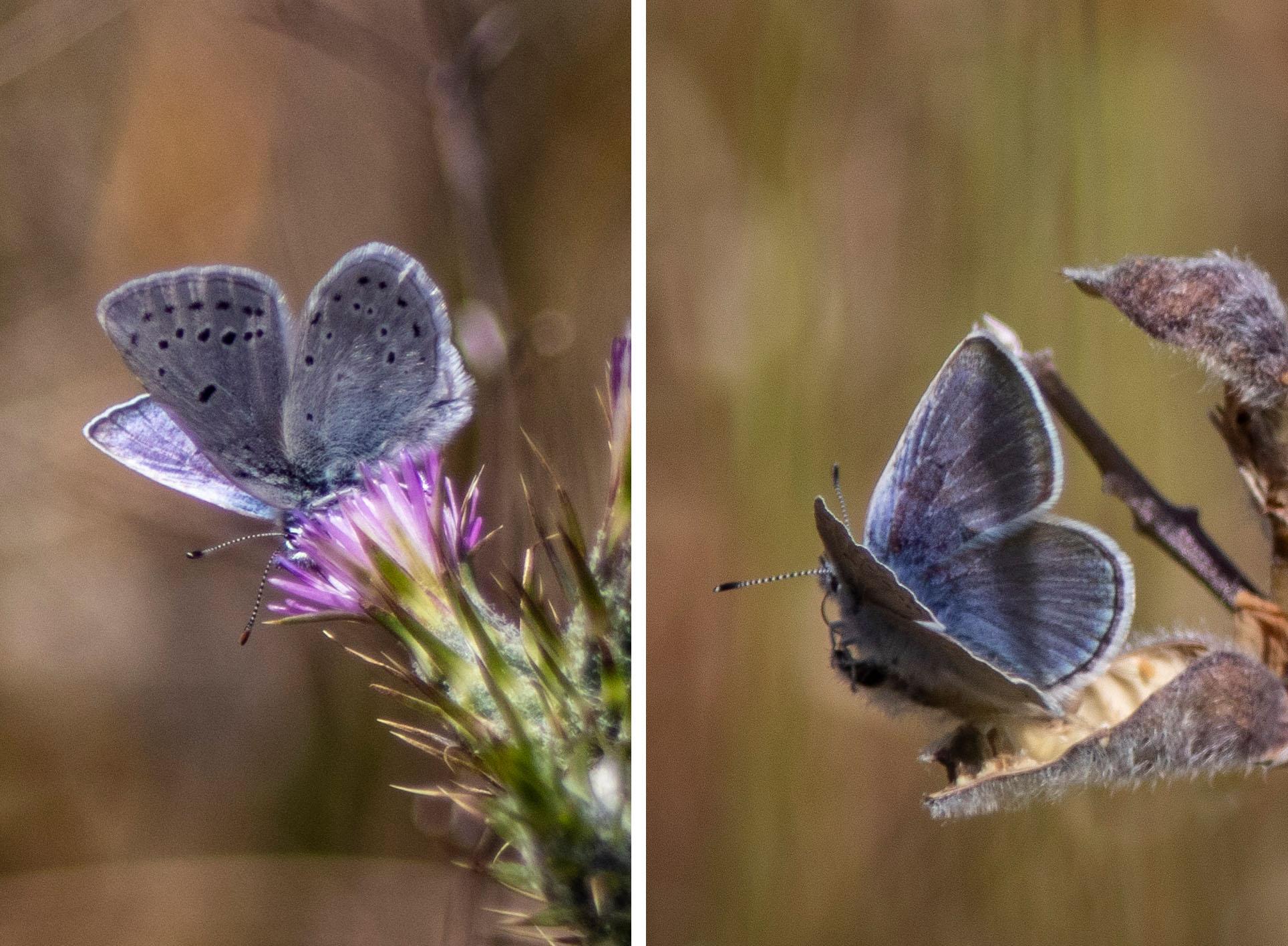 Butterflies At Buckeye Canyon Backyard Roots